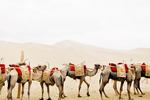 登鳴沙山,你一定要騎著駱駝,可是不能獨騎。工作人員會把三五隻駱駝扣在一起,由他牽著,確保安全。
